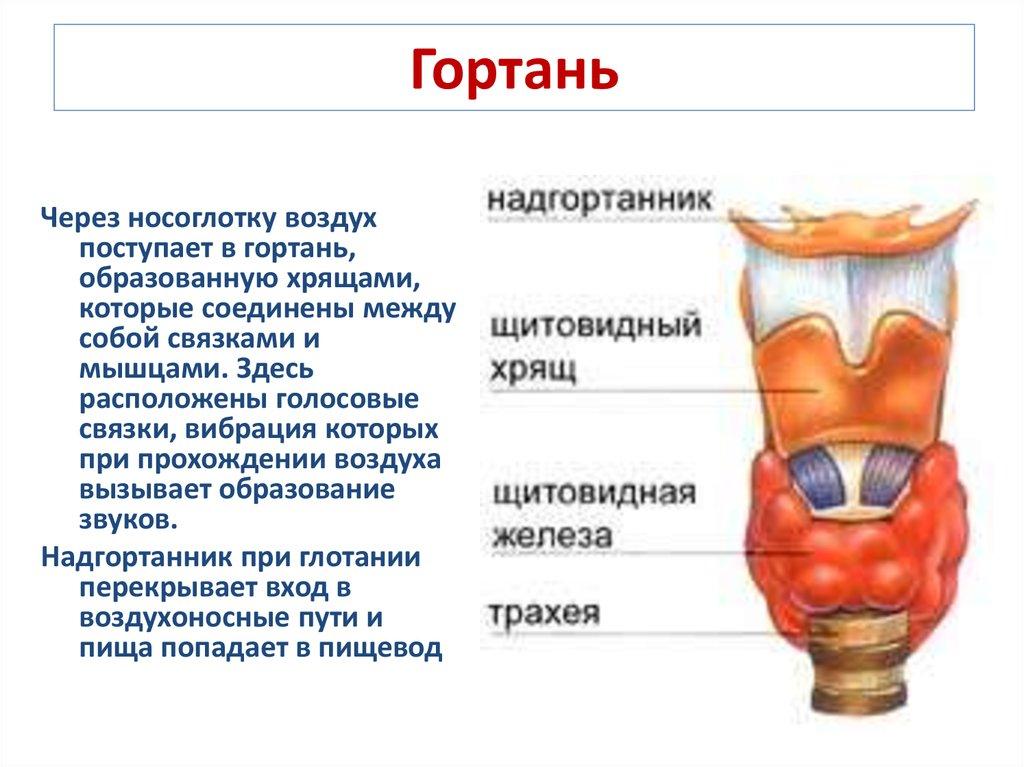 Гортань — википедия. что такое гортань