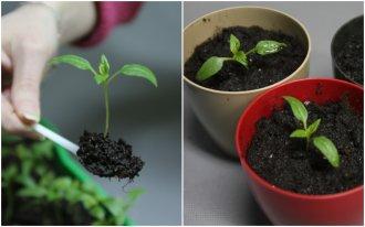 Рассада овощей: сроки посадки на рассаду таблица выращивание