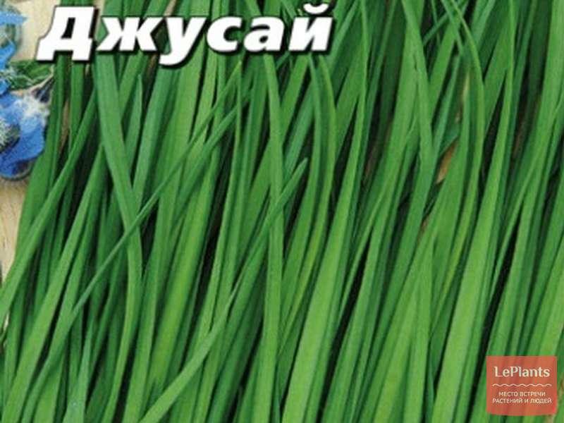 Джусай – что это такое польза и вред применение растения