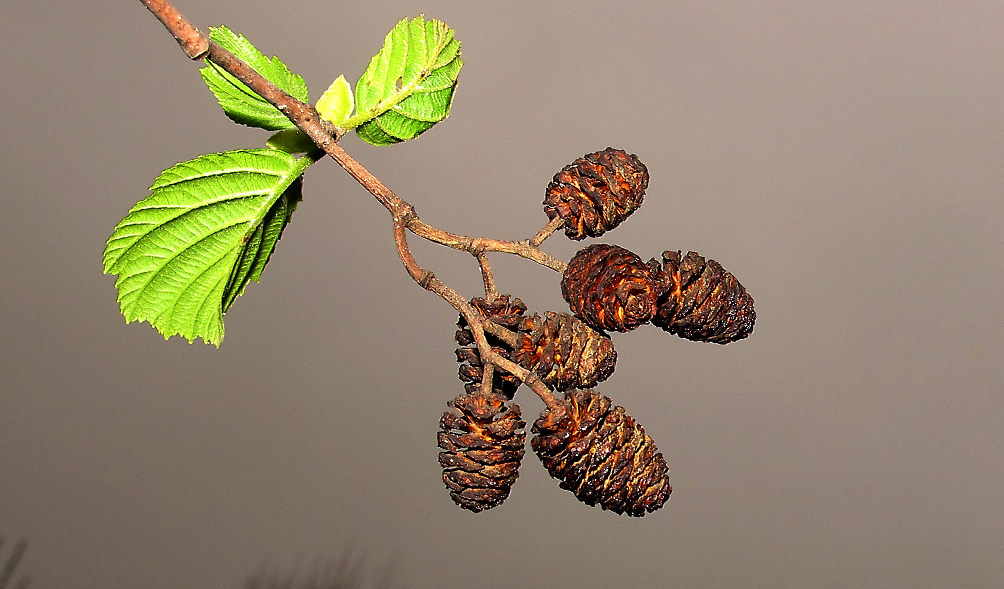 Ольха: полезные свойства коры дерева, сережек, почек, веника для бани, описание, применение в медицине, вред для здоровья человека