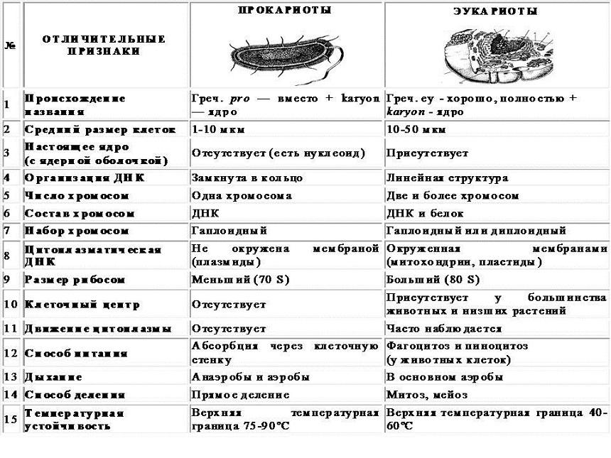 Эукариотическая клетка: черты строения и ее основные части