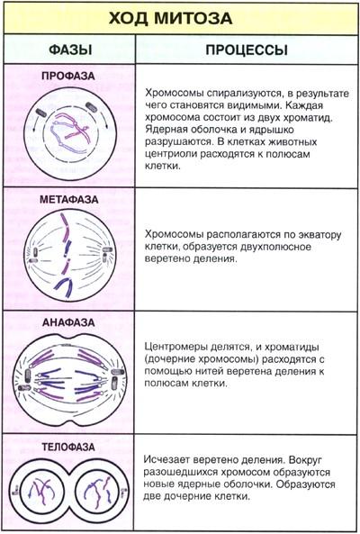 Что такое митоз и какой в профазе митоза происходит процесс?