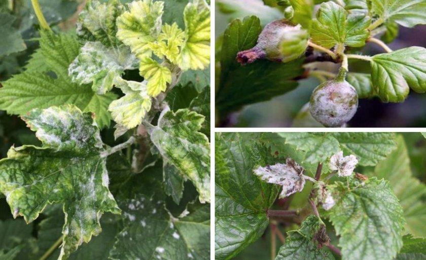 Как узнать, чем болеет смородина?   в саду (огород.ru)