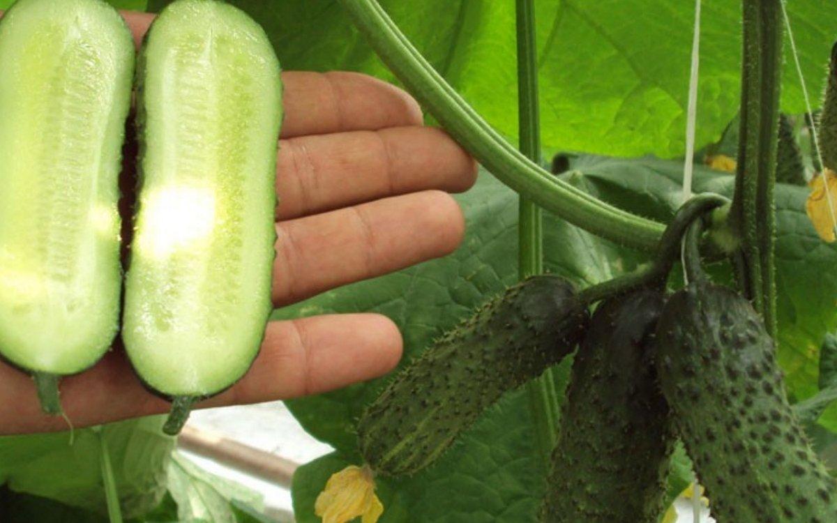 Что такое партенокарпические огурцы: особенности выращивания, описание сортов, фото – сад и огород своими руками