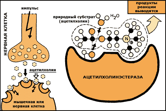Ацетилхолин