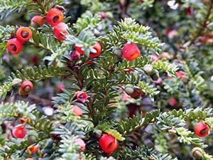 Тис ягодный — описание, полезные свойства и применение ягод ядовитого дерева ➥