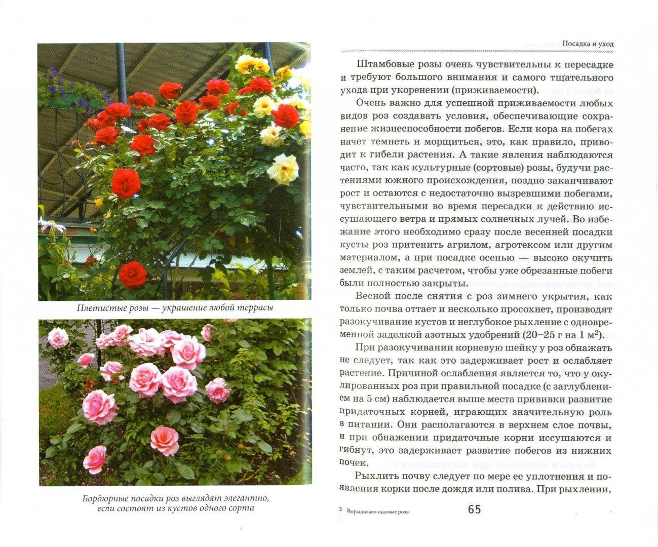 Розы сорта флорибунда: лучшие сорта, описание и уход