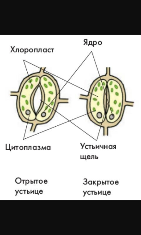 Устьице