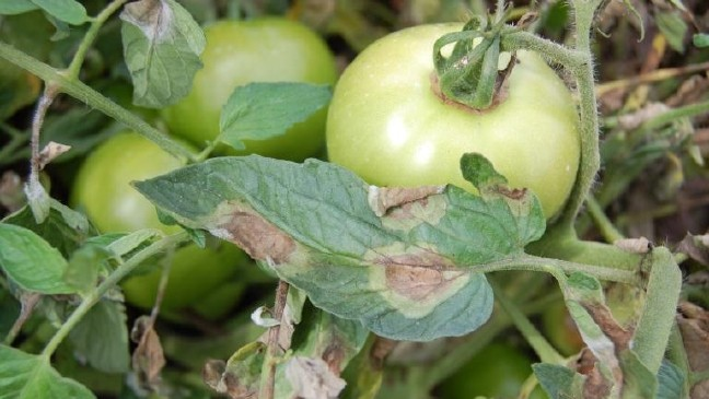 Эффективные народные средства от фитофторы на помидорах и картофеле | дела огородные (огород.ru)