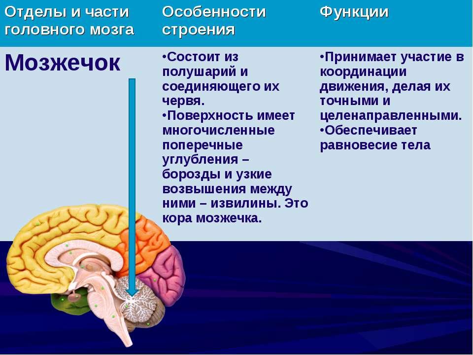 Мозжечок: какова его функция? - невролог, психотерапевт - киев