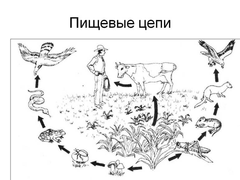 Пищевые сети и цепи: примеры, различия