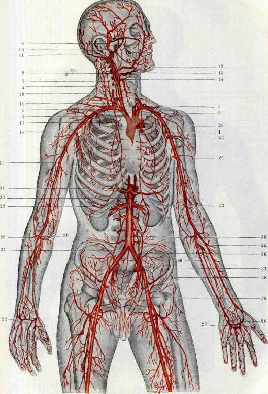 Сосуды человека,это система органов по которым движется кровь