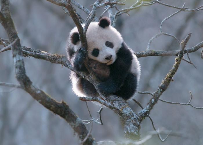 Панда что это? значение слова панда