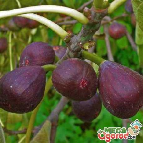 Как вырастить фиговое дерево в домашних условиях? инжир или фиговое дерево