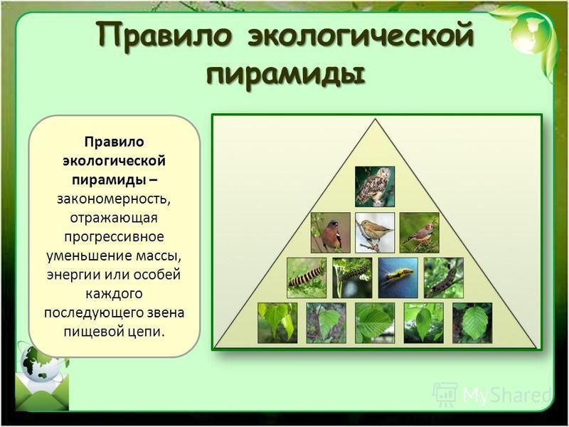 Что такое экологическая пирамида?