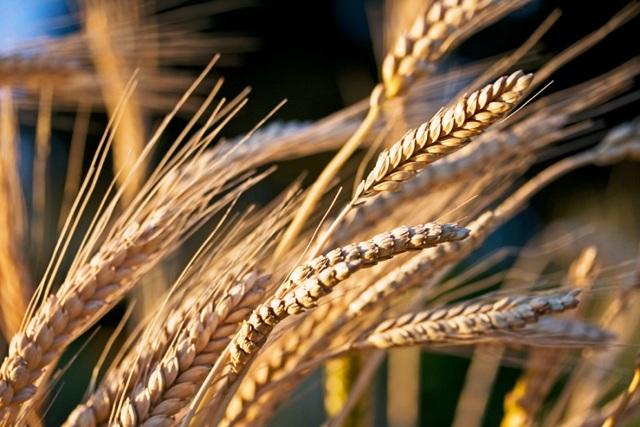 Пшеница | энциклопедия кругосвет
