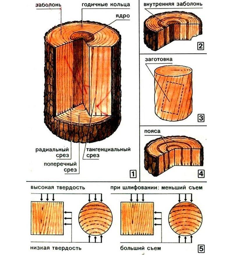 Заболонь древесины - определение, классификация, применение