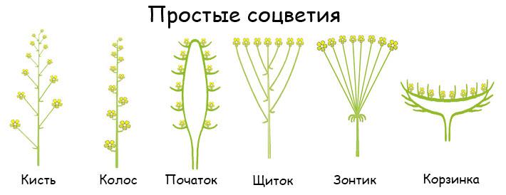 Соцветие