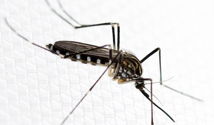 Комар – чем питаются комары, фото комаров, виды комаров.