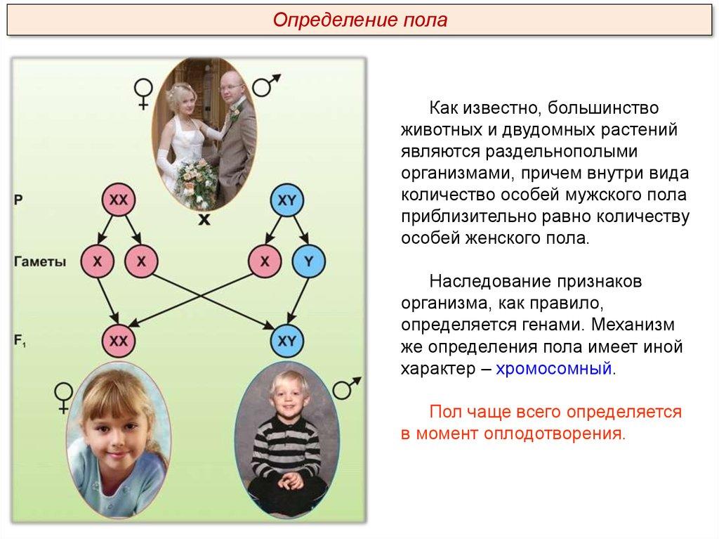 Функции половых хромосом. как хромосомы определяют пол потомства у человека и животных