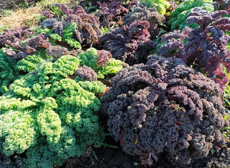 7 полезных свойств салата кейл для организма человека