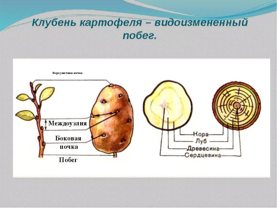 Клубень картофеля: чем является и как выглядит, другие части анатомического строения картошки (стебель, листья, корневая система, соцветия и другие)