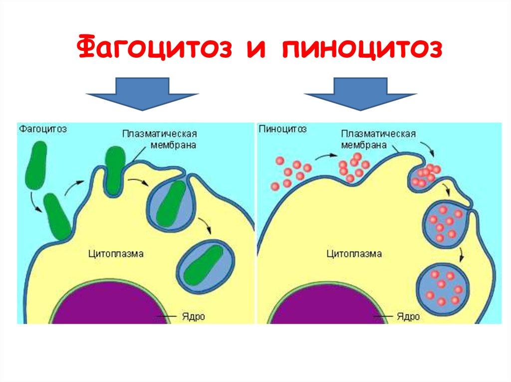 Фагоцитоз — википедия. что такое фагоцитоз