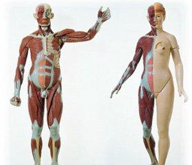 Половой диморфизм и ведущий тип сексуальных связей: современные приматы и ископаемые гоминины
