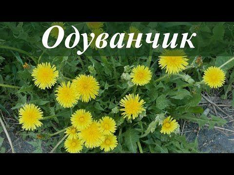 Одуванчик лекарственный — полезный сорняк. описание, полезные свойства. фото — ботаничка.ru