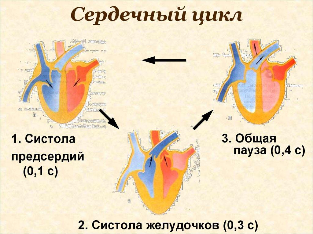 Что такое систола и диастола сердца