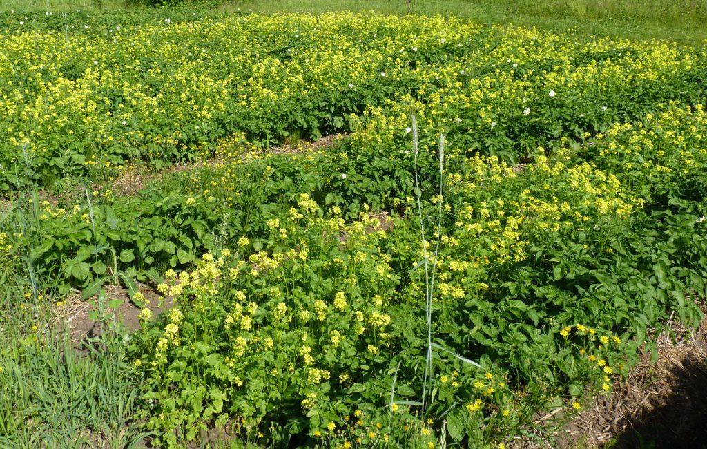 Лучшие сидераты для огорода | во саду и в огороде