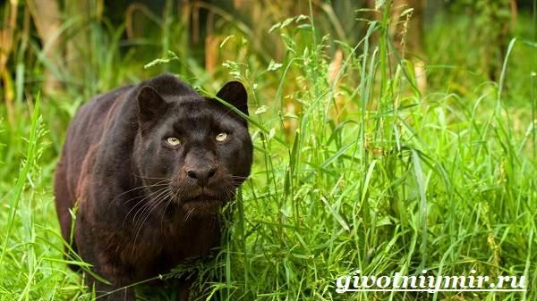 Пантеры — википедия. что такое пантеры