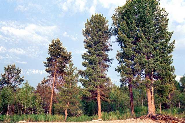 Кедр (хвойное дерево)