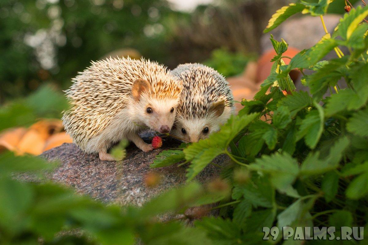 Чем кормить дикого ежа на даче, садовом участке