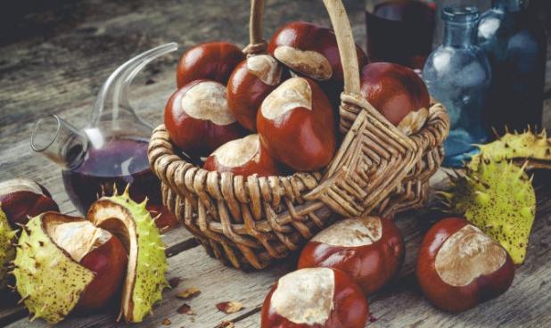 Каштан съедобный: польза и вред для здоровья