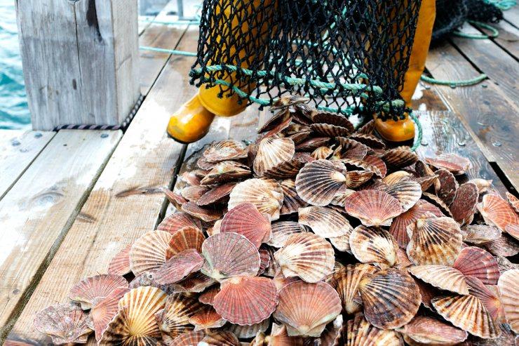 Морские гребешки — википедия с видео // wiki 2