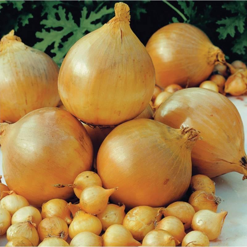 Как выглядит, из чего состоит и что такое лук репчатый – овощ или фрукт
