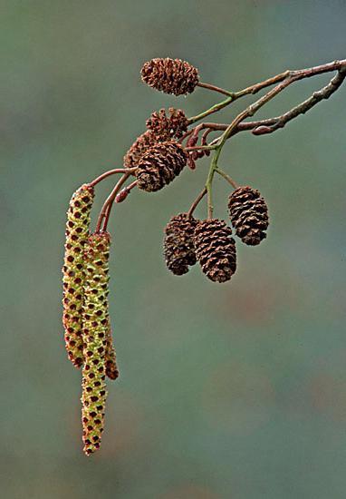Ольха: фото и виды, посадка и уход за деревом