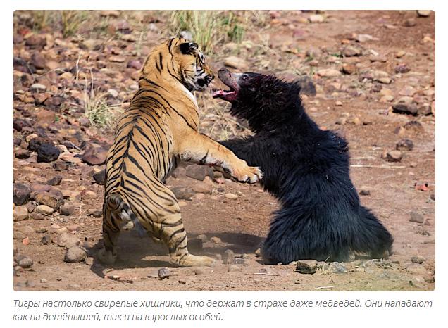 Амурский тигр: описание, где обитает, что ест, размножение