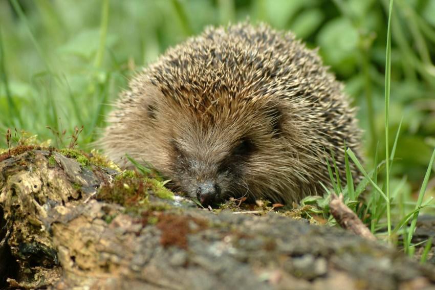Ежик: среда обитания и образ жизни животного. 120 фото и видео ежей обыкновенных