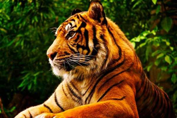 Тигр panthera tigris
