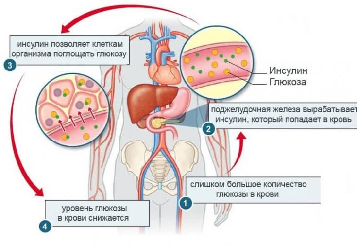Что такое инсулин: от а до я | журнал сахарок - все о диабете