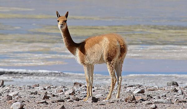 Мул - животное, выведенное человеком. происхождение мулов. мулы - это...