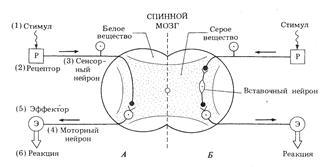 Рефлекторная дуга как морфологическая основа рефлекса. виды рефлектор ных дуг