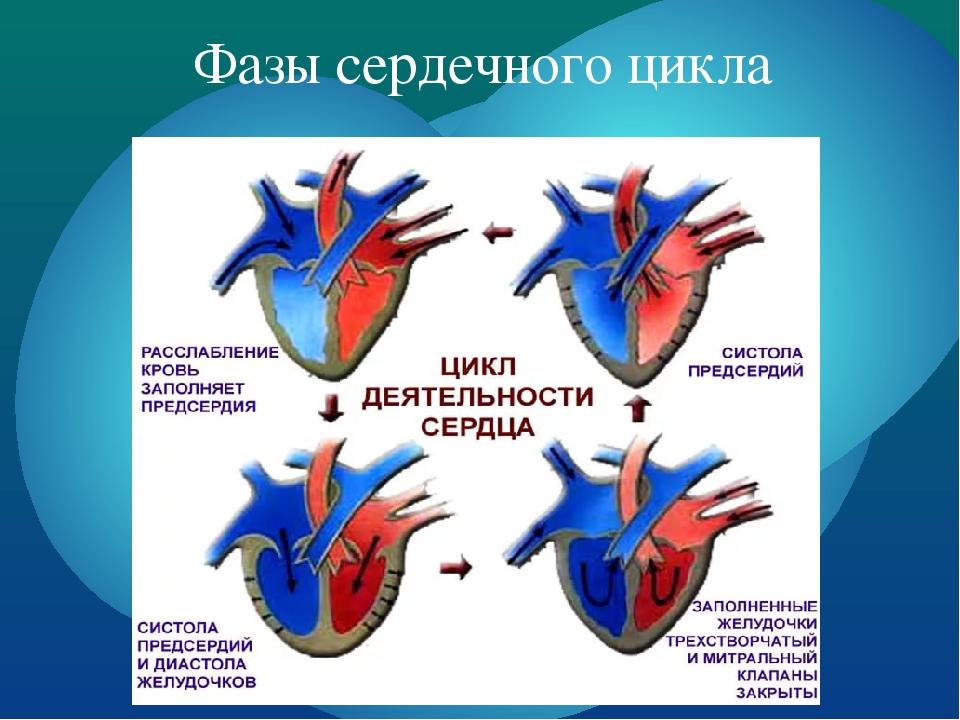 Работа сердца по циклам и что такое систола и диастола предсердий