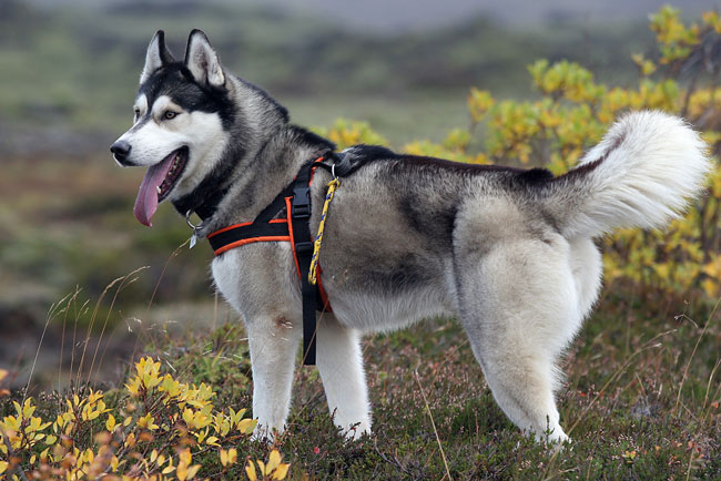 Сибирский хаски собака. описание, особенности, уход и цена сибирской хаски | sobakagav.ru