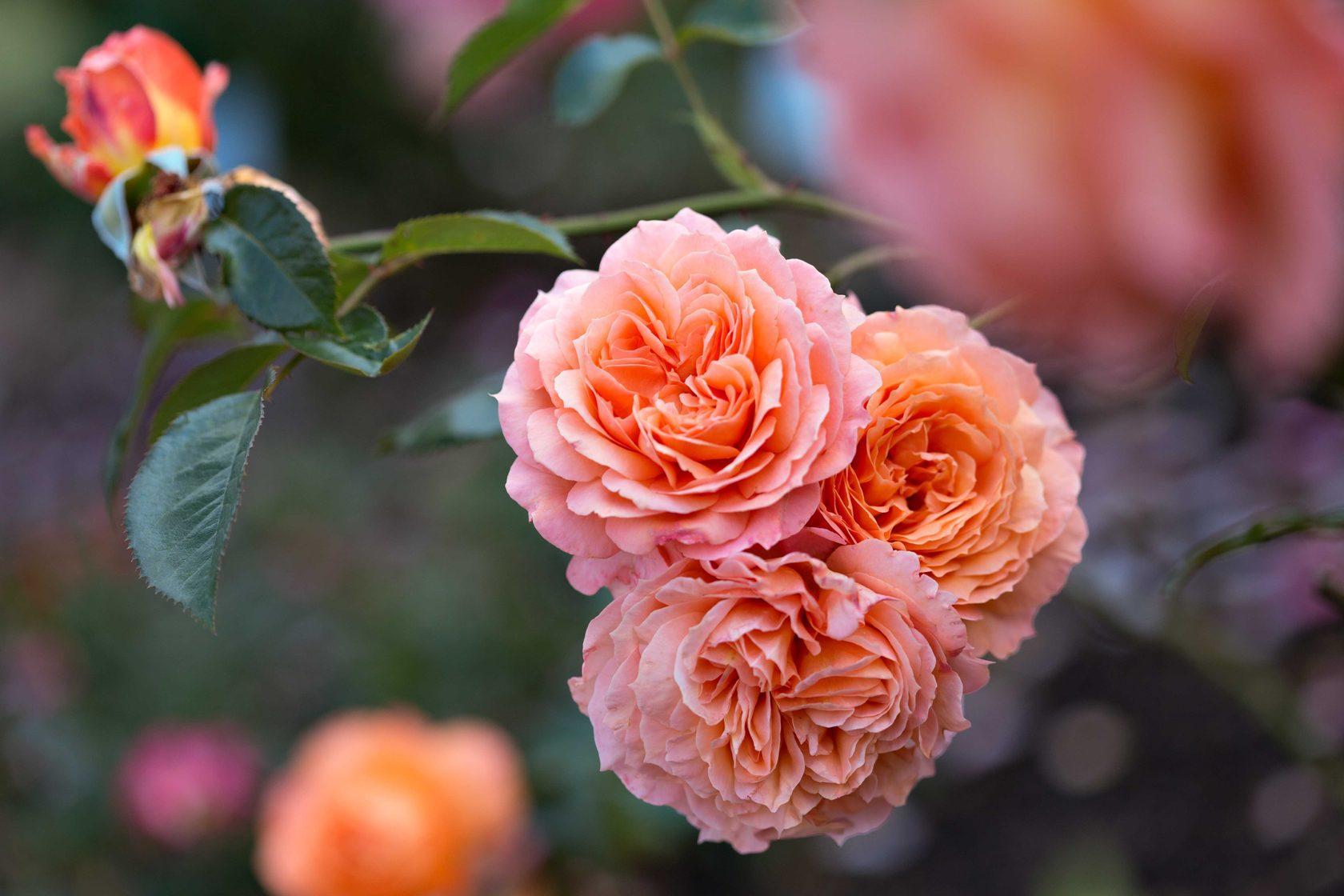 Розы шрабы, посадка и уход
