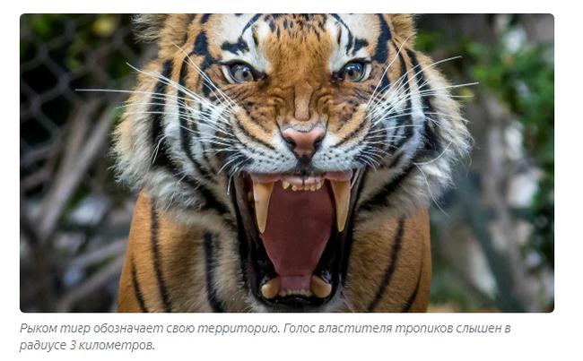 Восточный гороскоп: тигр  года тигра, характеристика родившихся в год тигра