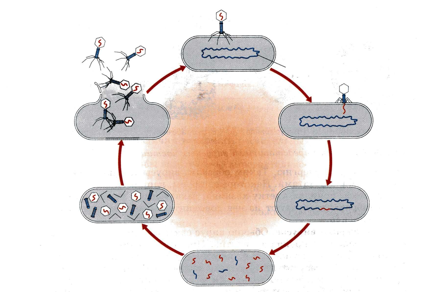 Жизненный цикл клетки: фазы, периоды. жизненный цикл вируса в клетке хозяина :: syl.ru