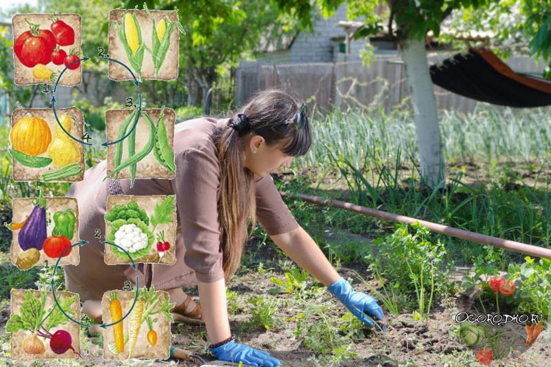 Севооборот, или что после чего сажать в огороде   дела огородные (огород.ru)
